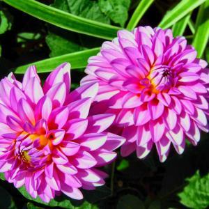 夏の花『ペチニアとダリア』