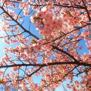 お花見『河津桜』