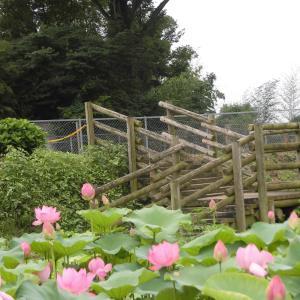 8月の花見「あかぼり蓮園」