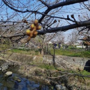 加古川の桜はつぼみ硬し