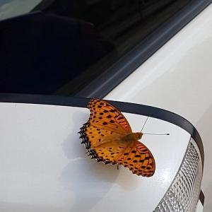 魂を運んでくると言われる蝶