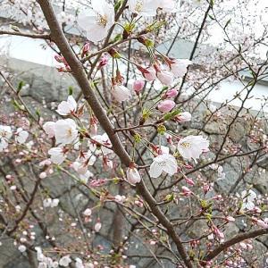桜は五分咲き、友達んちの庭