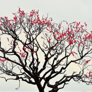 👼🐉【富士見橋】に❝梅の花❞光景❢❢