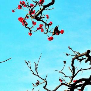 👼🐉【紅梅】美しさいっぱい❢❢咲く