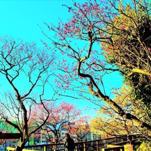 👼🐉蒼天の【梅の花】光景美