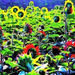 👼🐉太陽に向かって咲く【向日葵(ひまわり)】