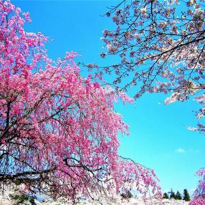 👼🐉春爛漫の【羊山公園】光景❢❢