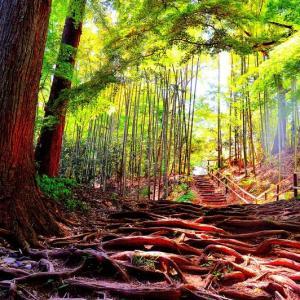 👼🐉新緑の【中尊寺】木の根路