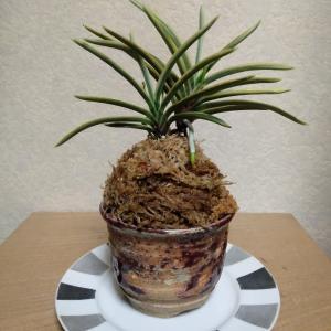 富貴蘭の花芽