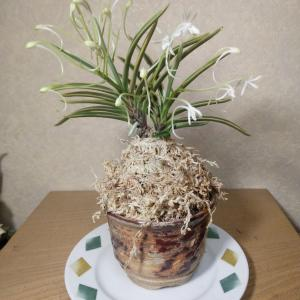 富貴蘭花が咲きました