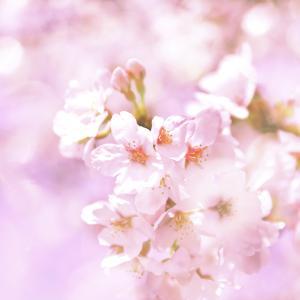 卯月の色…桜色