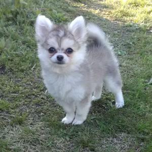 Seylan セイラン ミニ秋田犬?