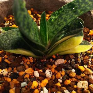 ガステリア・グラキリスとハオルチア竜鱗の植替え+♪