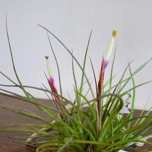トリコロールムーンライト開花とピグパのことw