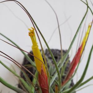 シーディアナが開花です♡