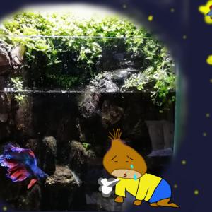 【悲報】岩清水のアクアテラリウム水槽の住人 ベタ逝く
