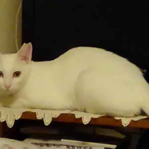 白猫のはるなちゃん(里親様募集中)