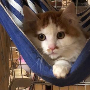 1/16 保護猫かふぇ かぎしっぽ様に子猫ゲスト参加します