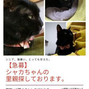 黒猫シャカさん里親募集中
