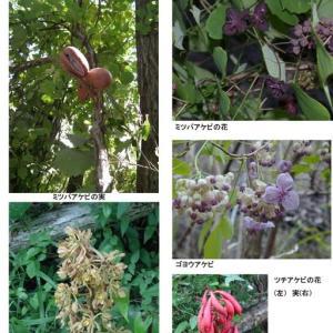 武庫川の樹木--アケビ--