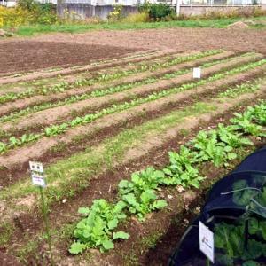 四拾貫農園の秋冬野菜成長風景