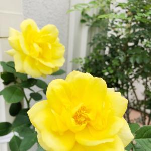 黄色いバラ♡