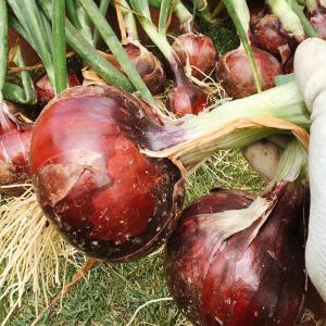 【初心者向け】玉ねぎを家庭菜園で育ててみよう!苗から育てる為の土作りを写真付きで解説