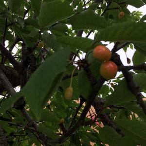 桜の木とサクランボの木は違うよね?でも、これは・・・
