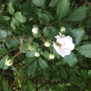 今日から7月。今度は姫バラ、ミニバラが咲き出してきた