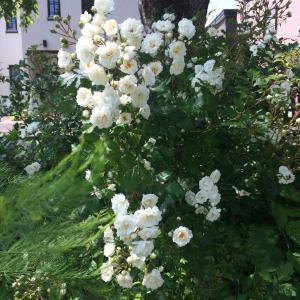 たくさんのミニバラの花。あたしの頭の中はお花畑にならないよ。