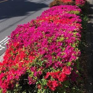 昭島市:今年はツツジも早いです