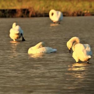 ~夕陽を浴びた「白鳥」の姿は、一段と美しいのである。~