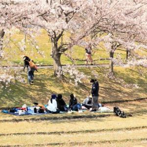 ~ 桜吹雪・花見・コロナウイルス ~・・・感染力舐めたらあかん。