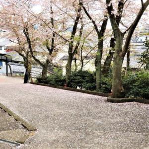 ~コロナ禍・遅すぎた花見・八重の紅枝垂れ桜~・・・♪ NAKAMORI  AKINA:片想い ♪