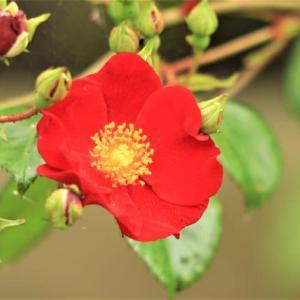 ~驚きのバラ:薔薇の挿し木~