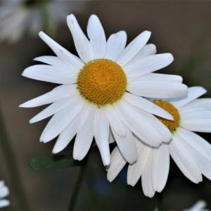 ~我が家の花々&飛来する野鳥~・・・バカラ:誘惑のブギー
