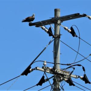 ~ ミサゴの巣・・・川岸・・・電柱の上 ~・・・ラヴ ミー  テンダー : エルビス・プレスリー