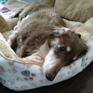 老犬と共に@残された時間を考えてしまう時。