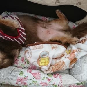 愛犬は睡眠と食欲で猛暑乗り切るよ!