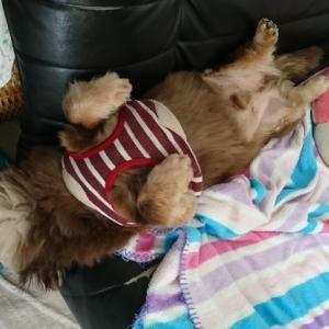 愛犬お腹丸出し@寝相。