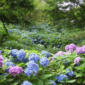 神戸市立森林植物園あじさい見どころいっぱいの植物園です