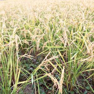 【理科の種まき】都内の稲刈り体験