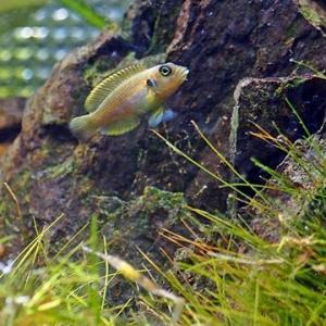 柳藻 / 日本の水草