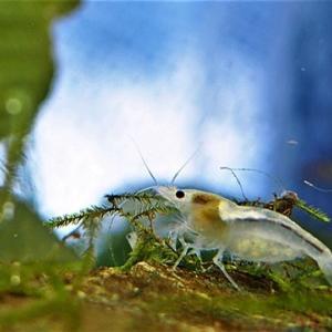 梅花藻 / 日本の水草