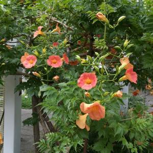 梅雨でも元気な花たち