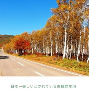 日本一のシラカバ林
