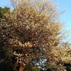 高草山のヒマラヤ桜が見頃になった