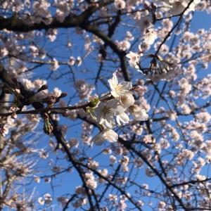 ふるさとは遠きにありて思うもの―桜が恋しいこの日ロサンゼルスから