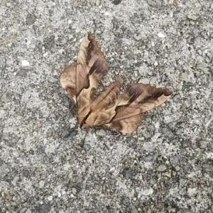 枯れ葉の様な蝶 or 蛾