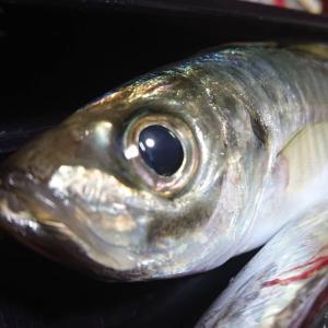 「メアジ釣れ 真鯵は何処へ? サバに聞く」サーフサビキの半夜釣り 真鯵が釣れない